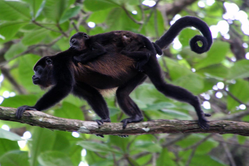 Howler Monkey with baby on it's back