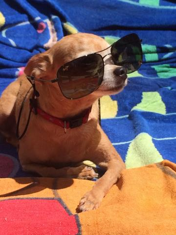 Chihuahua with sun glasses