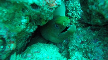 moray eel in costa rica