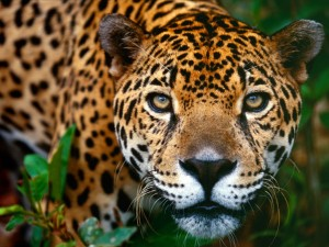 costa-rica-jaguar